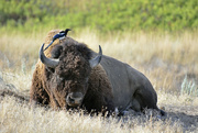 23rd Aug 2016 - Bison Grooming
