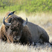 Bison Grooming