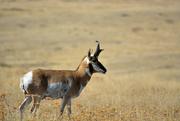 21st Aug 2016 - Pronghorn Antelope profile