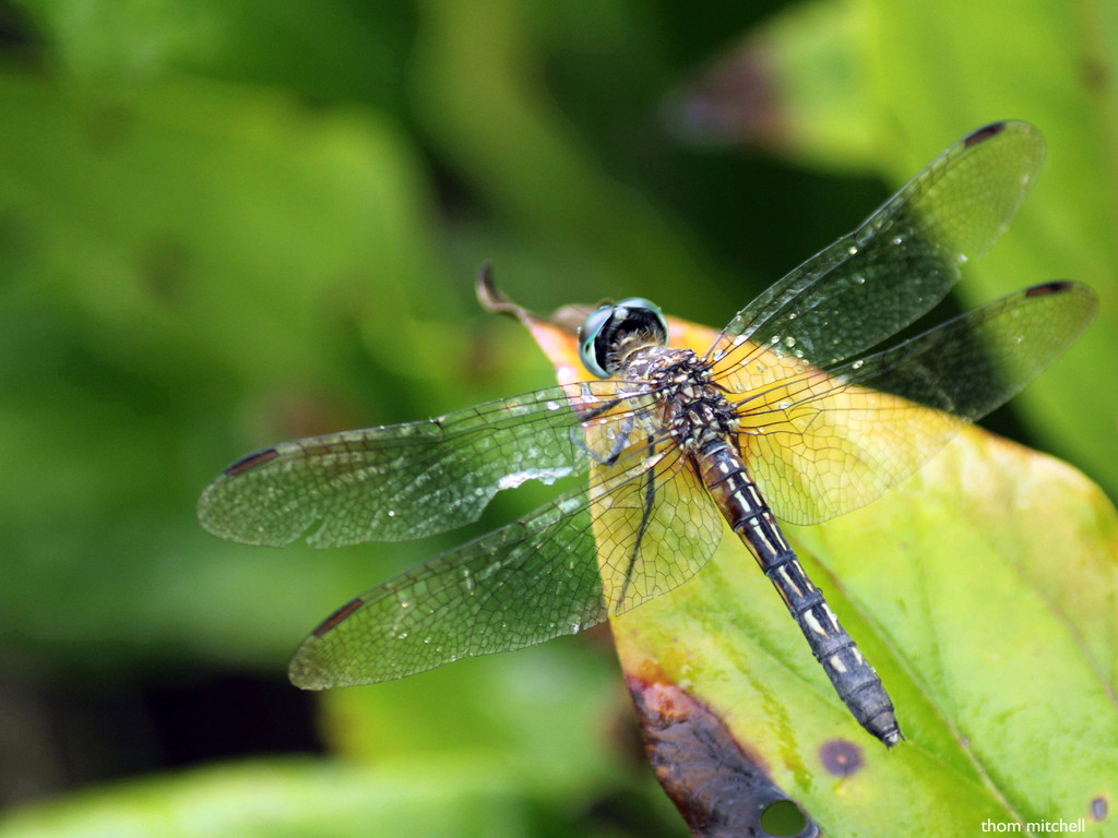 Blue Dasher after the rain by rhoing