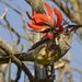 A Red Wattle Bird...._DSC0934 by merrelyn