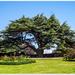 The Cedar Tree,Canons Ashby Gardens
