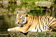 5th Aug 2016 - Tiger