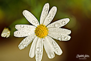 28th Aug 2016 - White Daisy with drops