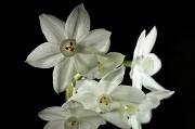 11th Dec 2010 - Narcissus Again