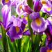 Irises .... by snowy
