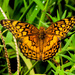 Hooray for the Fritillary!! by milaniet