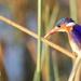 Malachite Kingfisher by padlock