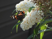 28th Aug 2016 - Red Admiral