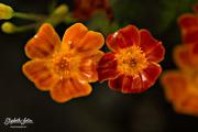 29th Aug 2016 - Orange flower
