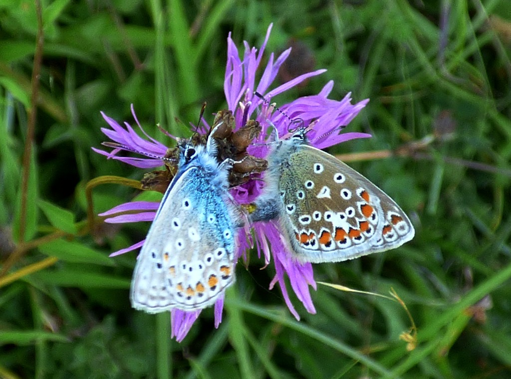 Common Blue courtship (Polyommatus icarus) by julienne1