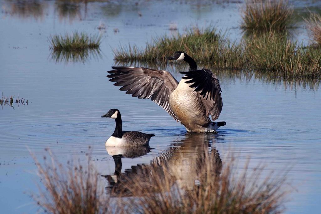 Big goose flap! by maureenpp