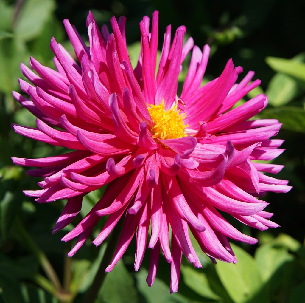 August: a dahlia and 2 wartime snippets by quietpurplehaze