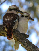 17th Aug 2016 - Kookaburra love