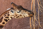 18th Aug 2016 - Hungry giraffe