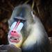 Colourful baboon by flyrobin