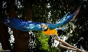 21st Aug 2016 - Macaw flight