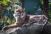 22nd Aug 2016 - Disdainful tiger