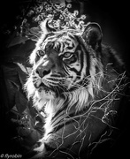 23rd Aug 2016 - Tiger glory