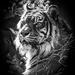 Tiger glory by flyrobin