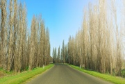 30th Aug 2016 - Bare poplars