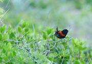 30th Aug 2016 - Red-backed Wren