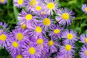 14th Aug 2016 - Purple flower