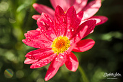 30th Aug 2016 - Pink Daisy