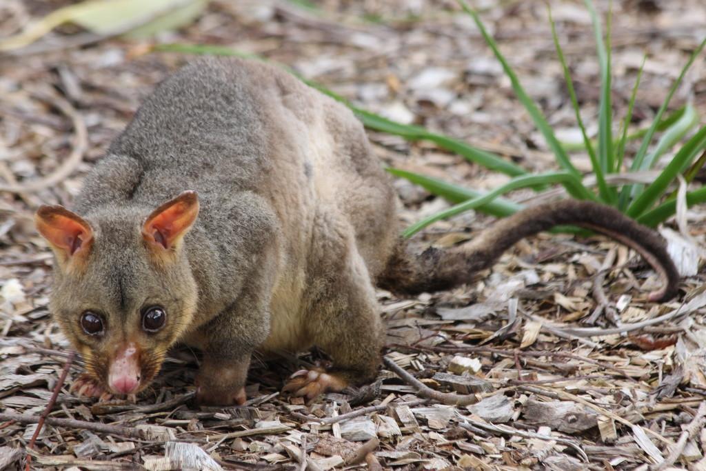 Possum magic by gilbertwood