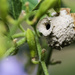 Potter wasp nest by evalieutionspics