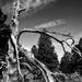 Old Tree  by joysabin
