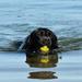 Black lab + tennis ball + water = FUN