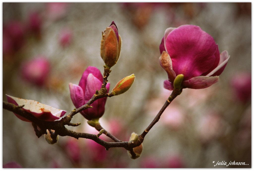 Magnolia's by julzmaioro