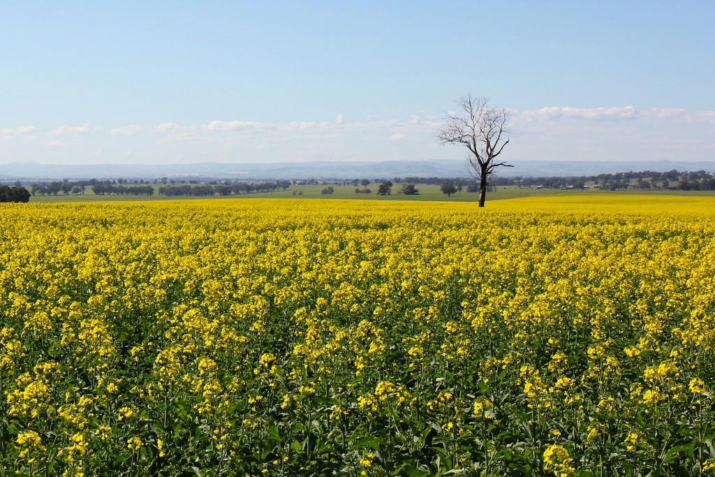 Update on the canola field by leggzy