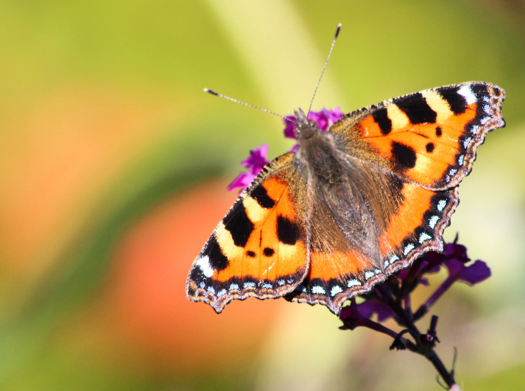 Small tortoiseshell butterfly by stiggle