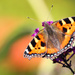 Small tortoiseshell butterfly by stiggle