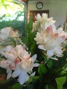 31st Aug 2016 - A flower named Tuberose, Rajanigandha, Gulchadi or Gardentia