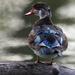 wood duck hen by mjalkotzy