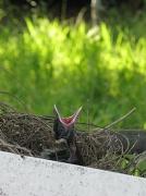 13th Dec 2010 - Baby Magpie
