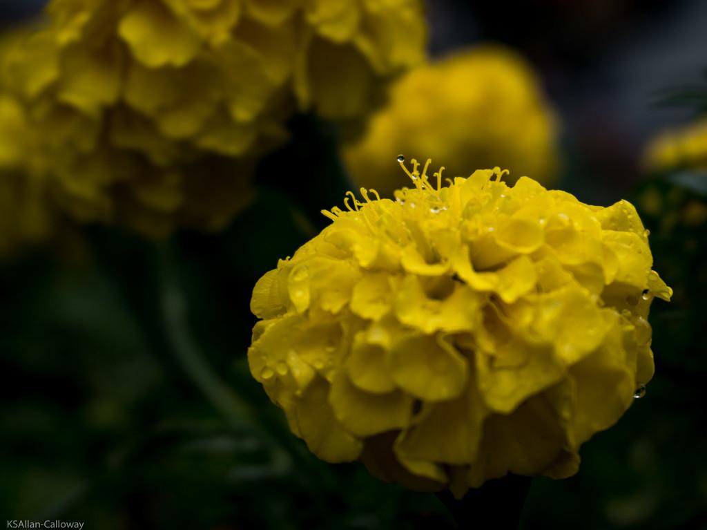 Wet marigold by randystreat