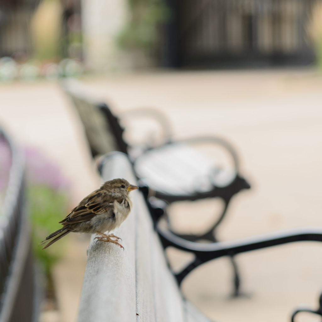 square sparrow by jackies365