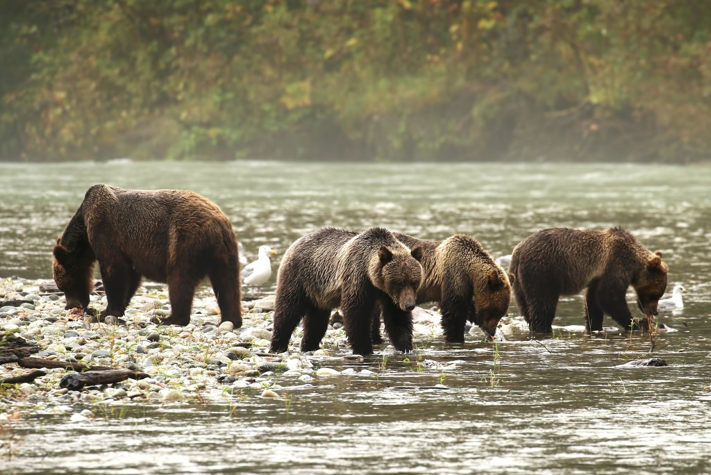 Grizzly with her Triplets by shepherdmanswife