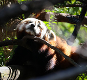 25th Aug 2016 - Red panda rest