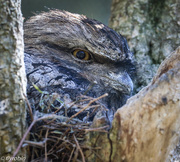 1st Sep 2016 - Tawny frogmouth nesting