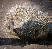 27th Aug 2016 - Doing the echidna scratch