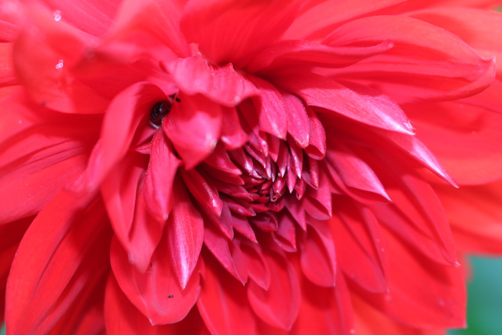 Heart Of The Dahlia by phil_sandford
