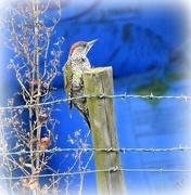 2nd Sep 2016 - Green woodpecker