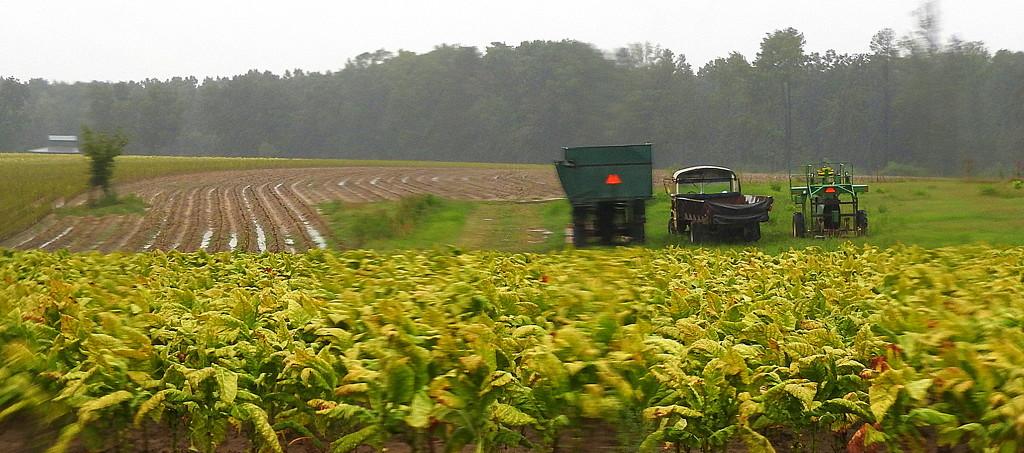 Harvest on hold for Hurricane Hermine! by homeschoolmom