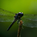 Late Afternoon Dragonfly! by rickster549