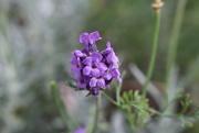 3rd Sep 2016 - Last Bud of Lavender
